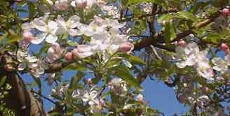 Blossom: Apple blossoms have five petals, like other members of family Rosaceae.