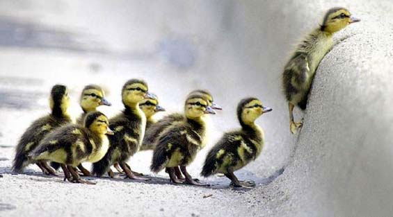 DucklingsSnow: Ducklings watch as their leader tries to climb a snow-covered curb